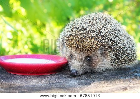 Hedgehog On A Stump In The Garden Drinking Milk From A Saucer.