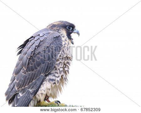 Isolated Peregrine Falcon.
