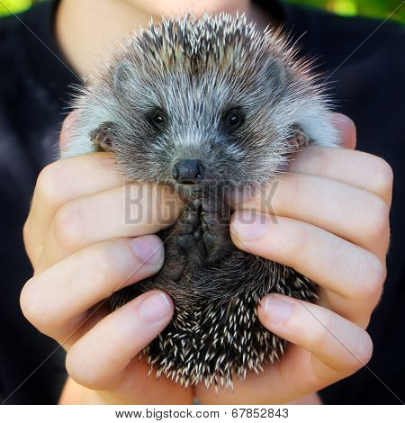 Baby Hedgehogs In Human Hands
