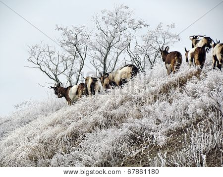 Mountain Goat On A Background Of Nature Frost