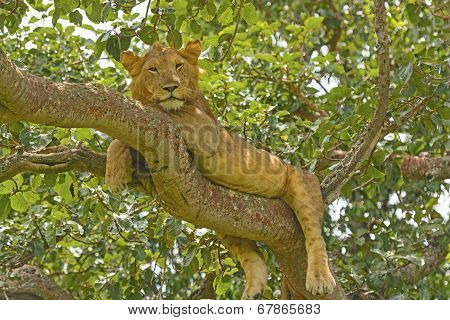 Young Male Lion In A Tree