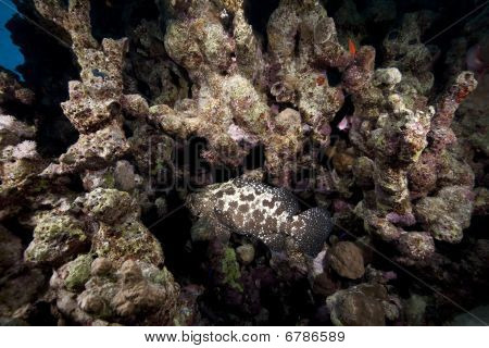 Marbled Grouper, Ocean And Coral