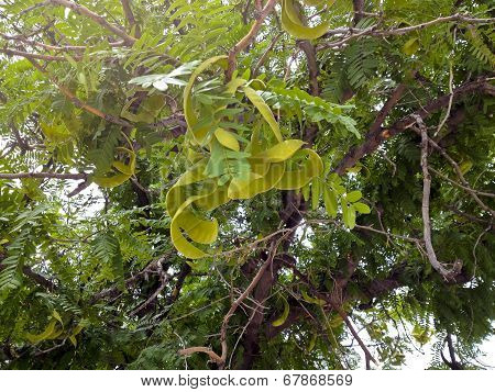 Green Mesquite Legumes