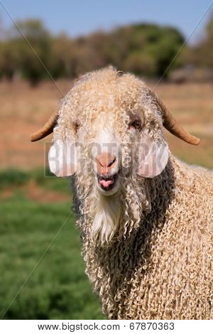 Portrait of an angora goat