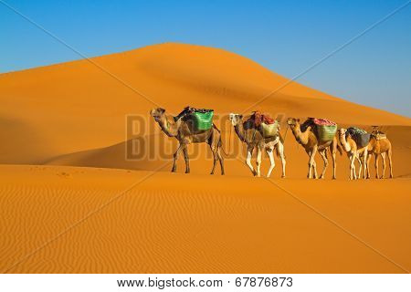 Camel caravan moving in Sahara desert in morning.