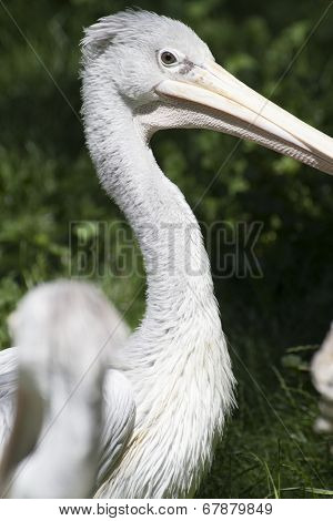 avian pelican, bird with huge beak