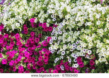 White And Pink Petunia Flowers