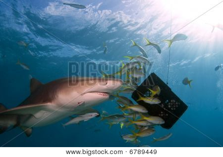 Lemon Shark With Yellow Tail Snappers