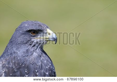 Black-chested Buzzard-eagle.