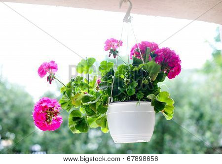 Outdoor flowerpot. Pink flowers in white hanging flower pot. Colored geraniums in hanging flower pot