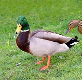 pic of male mallard  - Male Duck Mallard standing in grass female in back - JPG