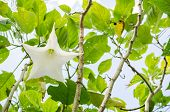 picture of angel-trumpet  - White Brugmansia flower or Angel - JPG