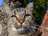 foto of merlin  - Close up of the Cat Merlin in a tree - JPG