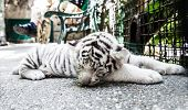 pic of tiger cub  - Image of cute white tiger cub sleeping