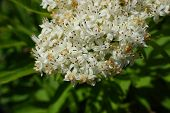 stock photo of elderflower  - spring little white blossoms of elderflower close up - JPG