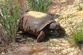 stock photo of gopher  - Gopher Tortoise  - JPG