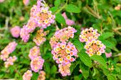 picture of lantana  - Lantana camara Linn flowers in the garden - JPG