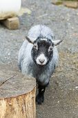 image of pygmy goat  - Grey pygmy goat with black head staring forward - JPG