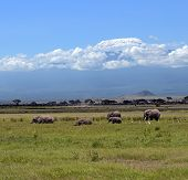 foto of kilimanjaro  - Kilimanjaro elephants in Amboseli National Park Kenya - JPG