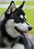 stock photo of laika  - Husky at the dog show in the spring - JPG