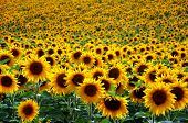 stock photo of sunflower-seed  - A beautiful yellow Sunflower field at sunset - JPG