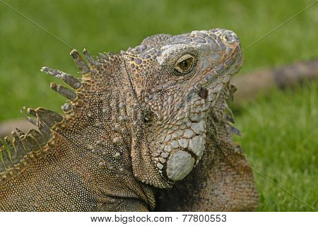 Head Shot Of A Green Iguana