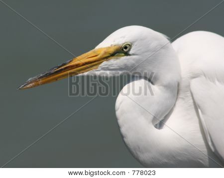 White egret watching out