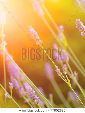 Beautiful stalks of lavender outdoor against green grass