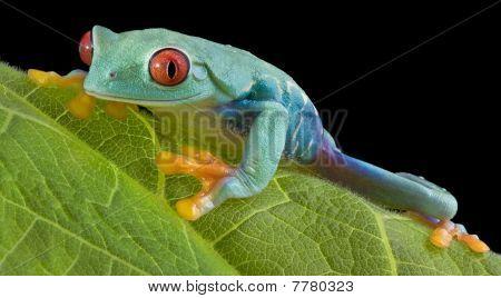 Staring Tree Frog