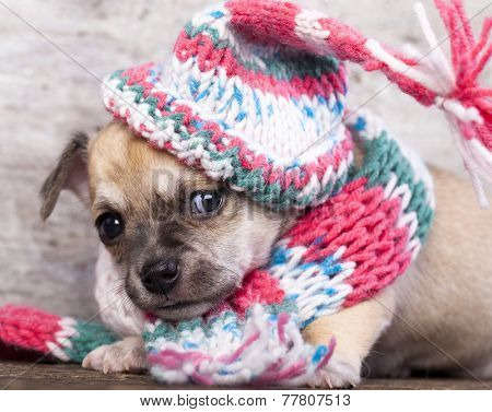 puppy chihuahua wearing a knit hat