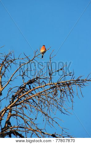 Red Bird Sits On Branch