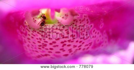 Ants inside a Foxglove