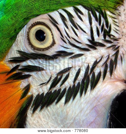 Macaw Parrot Eye