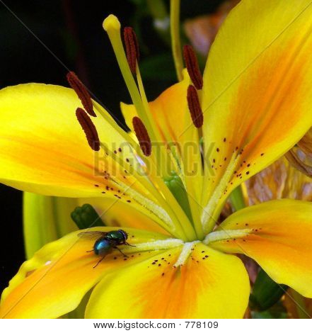 Fly on Yellow Lily