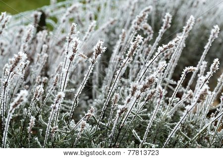 the winter impression - the hoary lavender in the garden