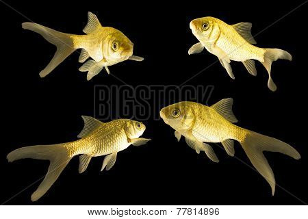 four carp