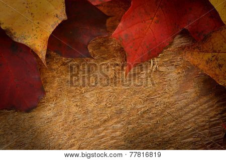 Leaves  Of Maple