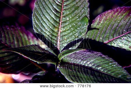 purple green leaves