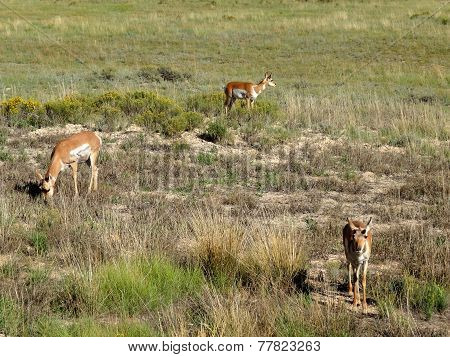 Three Mule Deers In Bryce Canyon National Park