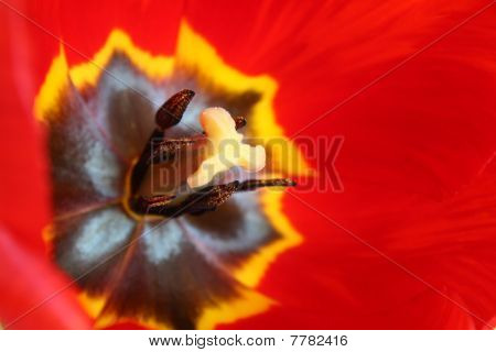 Macro Of Beautiful And Fresh Red Tulip