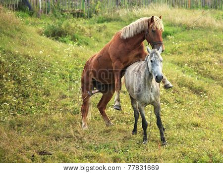 Coupling horses.