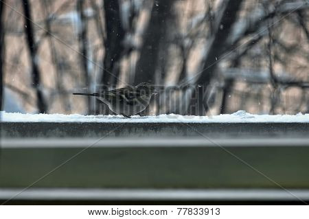 One titmouse bird (Paries) in the winter look for grain