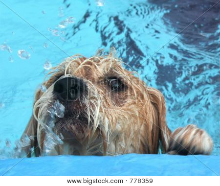 SCRUFFY_DOG_SWIMMING