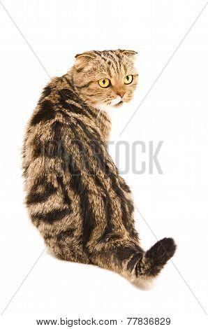 Scottish Fold cat sitting back
