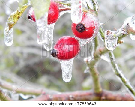 rosehip frozen after freezing rain