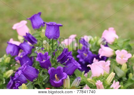 Canterbury bell flowers