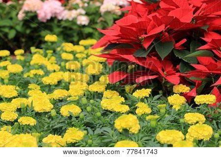 Poinsettia and Chrysanthemum flowers