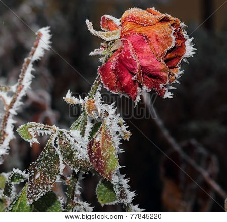 Rose Covered With Hoarfrost