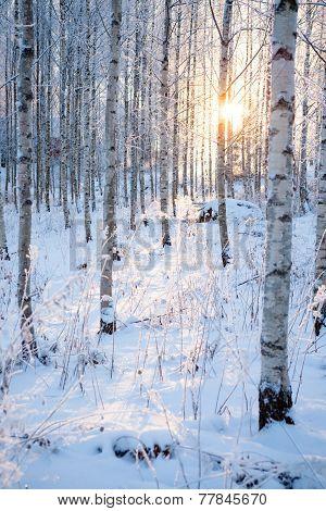 Snowy birch forest and sun light