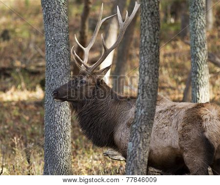 Closeup of Elk Stag